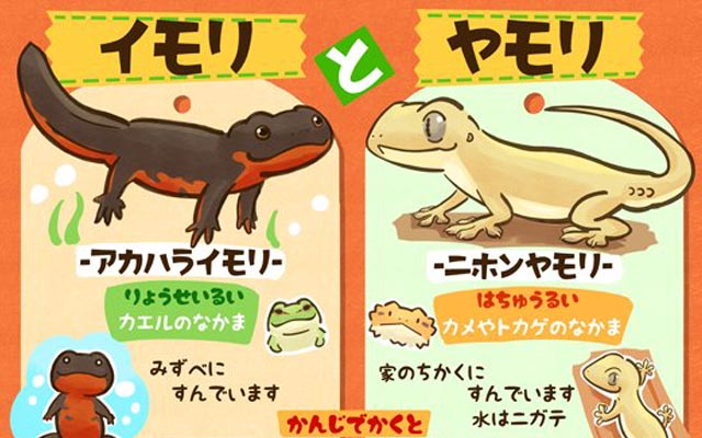 イモリ(ရေပုပ်သင်) နဲ့ ヤモリ(တောက်တဲ့) တို့ရဲ့မတူညီချက်များနှင့် ဂျပန်ဝေါဟာရများလေ့လာခြင်း !!!