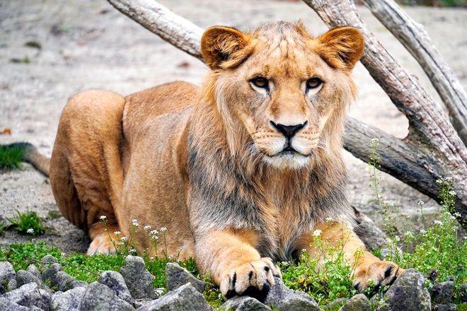ခြင်္သေ့တစ်ကောင် ယန်း ၁၀ သောင်းသာပေးရတဲ့ ဂျပန်တိရစ္ဆာန်ရုံရဲ့အမှောင်ဘက်အခြမ်း !!