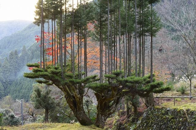 Daisugi – အခြားသစ်ပင်များအတွက် သစ်ပင်ပလက်ဖောင်းဖန်တီးပေးထားတဲ့ ဂျပန်သစ်တောနည်းပညာ