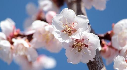 ယခင်က ဂျပန်နိုင်ငံကိုကိုယ်စားပြုတဲ့ပန်းဟာ ဆာကူရာမဟုတ်ခဲ့ပါ !!!