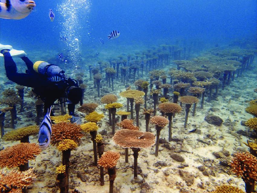 အိုကီနာဝါတွင် သန္တာကျောက်ခက်များအား ပြန်လည်မွေးမြူခြင်း။ သန္တာကျောက်တန်းရဲ့ အန္တရာယ်ကိုကာကွယ်ပေးပါ။